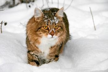 Det er farligt for din kat at være udenfor i mange timer, når det er frostvejr. Sådan lyder advarslen fra en norsk dyrlæge, der ikke mener, at det er forsvarligt at efterlade sin kat udenfor i længere tid, når vinteren viser sig fra sin koldeste side. Foto: Colourbox (arkiv).