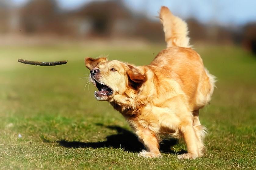 Din hund risikerer alvorlige skader, hvis du kaster med pinde og kæppe fundet i naturen, lyder advarslen fra førende dyrlæger i Storbritannien.