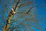 Kastanjetræ fældes på grund af bakteriekræft