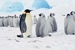 Kæmpe isbjerg koster 150.000 pingviner livet
