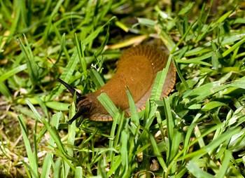 Iberisk skovsnegl bedre kendt som dræbersnegl. Arkivfoto