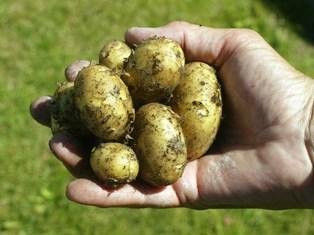 Nye, danske kartofler skal koges forsigtigt. Få opskriften her