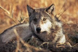 Henvendelser om ulve er faldet, siden det kom frem, at ulveundersøgelser var upræcise