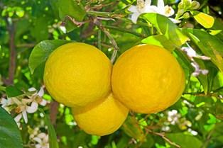 Citronen er ikke bare sur. Den kan løse mange problemer, der intet har med mad at gøre.