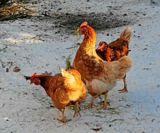 Et nyt samarbejde mellem REMA 1000 og det familieejede Rokkedahl Kylling skal imødekomme det stigende antal danskere, der efterspørger danske, fritgående kyllinger.