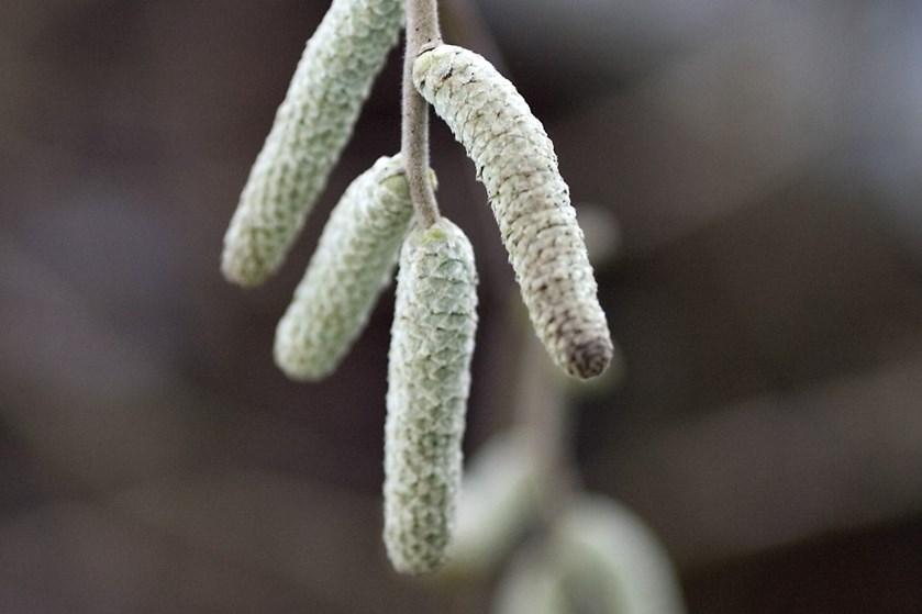 Lunt, tørt og blæsende vejr gør det surt at være pollenallergiker