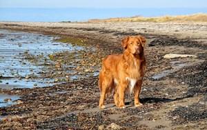 Derfor skal hunden være under kontrol, så den ikke forstyrrer andre strandgæster eller det vilde dyreliv på stranden