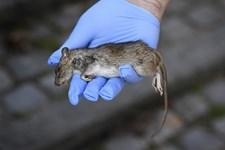 Antallet af skader forårsaget af rotter stiger, så forebyggelse er vigtig