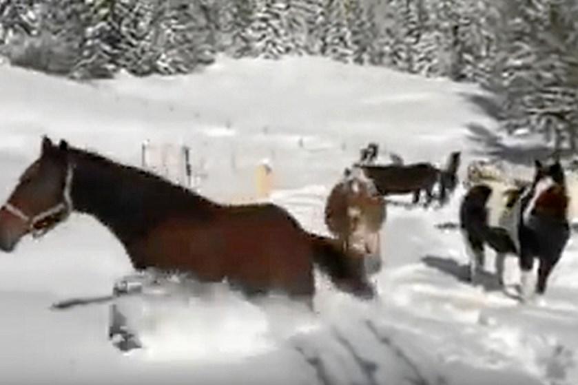 Både børn og dyr elsker at lege i sneen. Disse heste tager begejstringen til et nyt niveau.