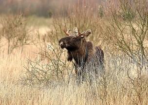 Elg i vildmosen har fået kalv