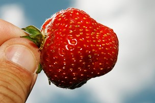 Jordbær - røde, søde og også lidt giftige