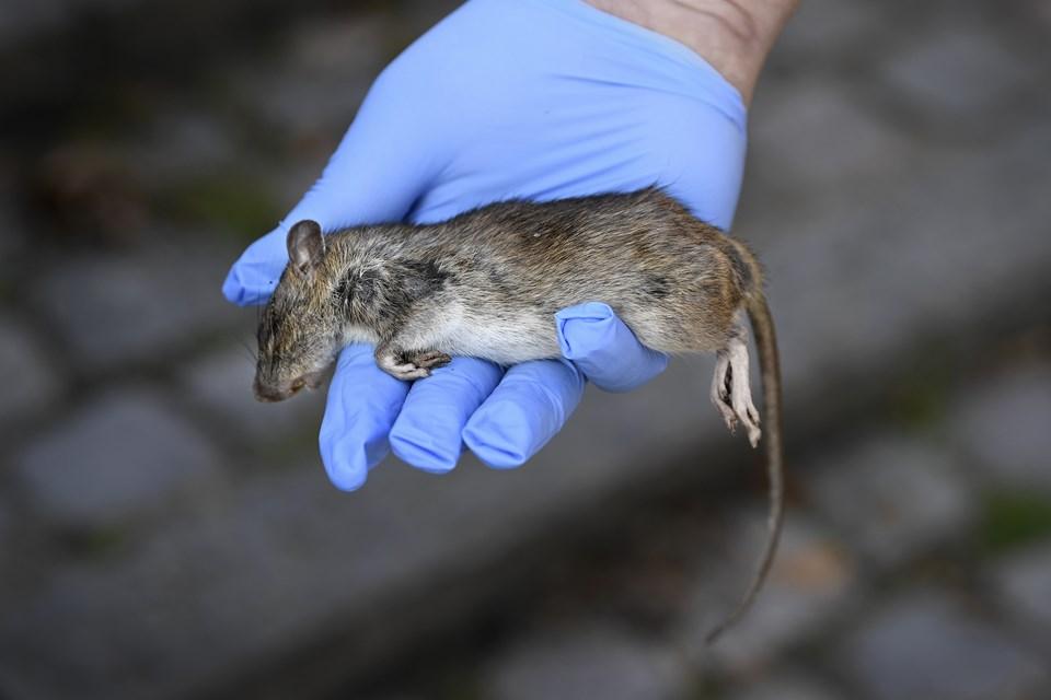 En stor rotteunge, der er skudt med luftgevær i Østre Anlæg - et voksent eksemplar er typisk 2-3 gange så stor.