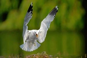 Mågerne skal bekæmpes med droner