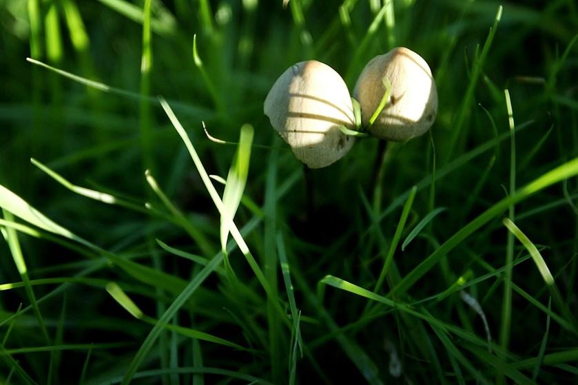 Det er populært at gå på svampejagt, men ikke alle svampe egner sig til at blive plukket, og nogle af dem, der ser mest fredelige ud, kan være dødsens farlige.