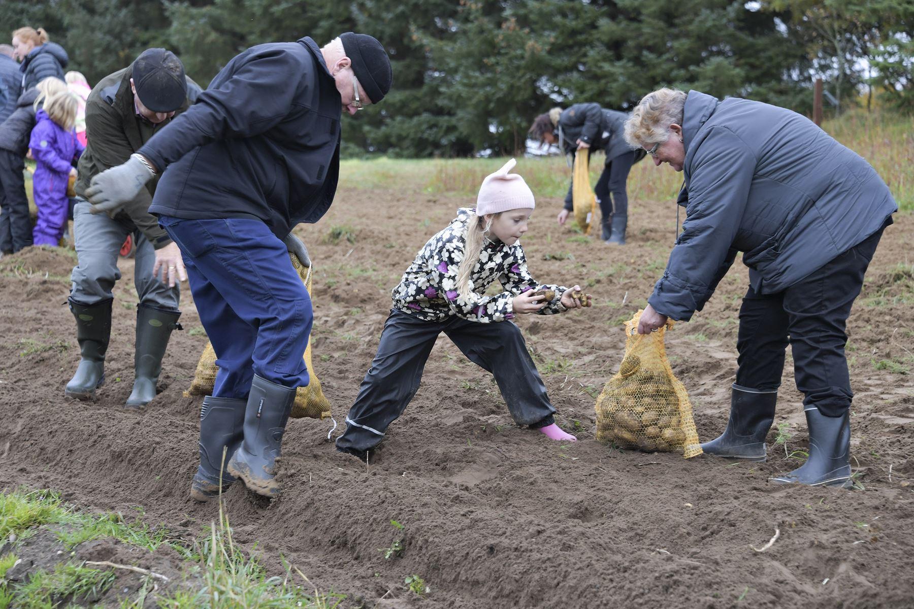 Onsdag var der traditionen kartoffeldag i Mosbjerg på VHM's landbrugsmuseum