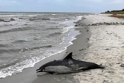 Delfin strandet nær Hals