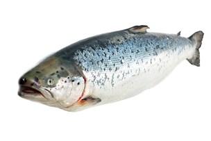 Fiskesæd kan bruges i din cykellygte