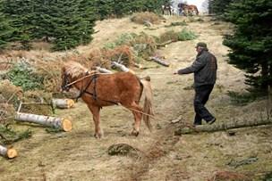 Tømmerhest trak død ko op af sump