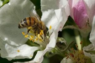 Insekterne forsvinder - det skal du ikke være glad for