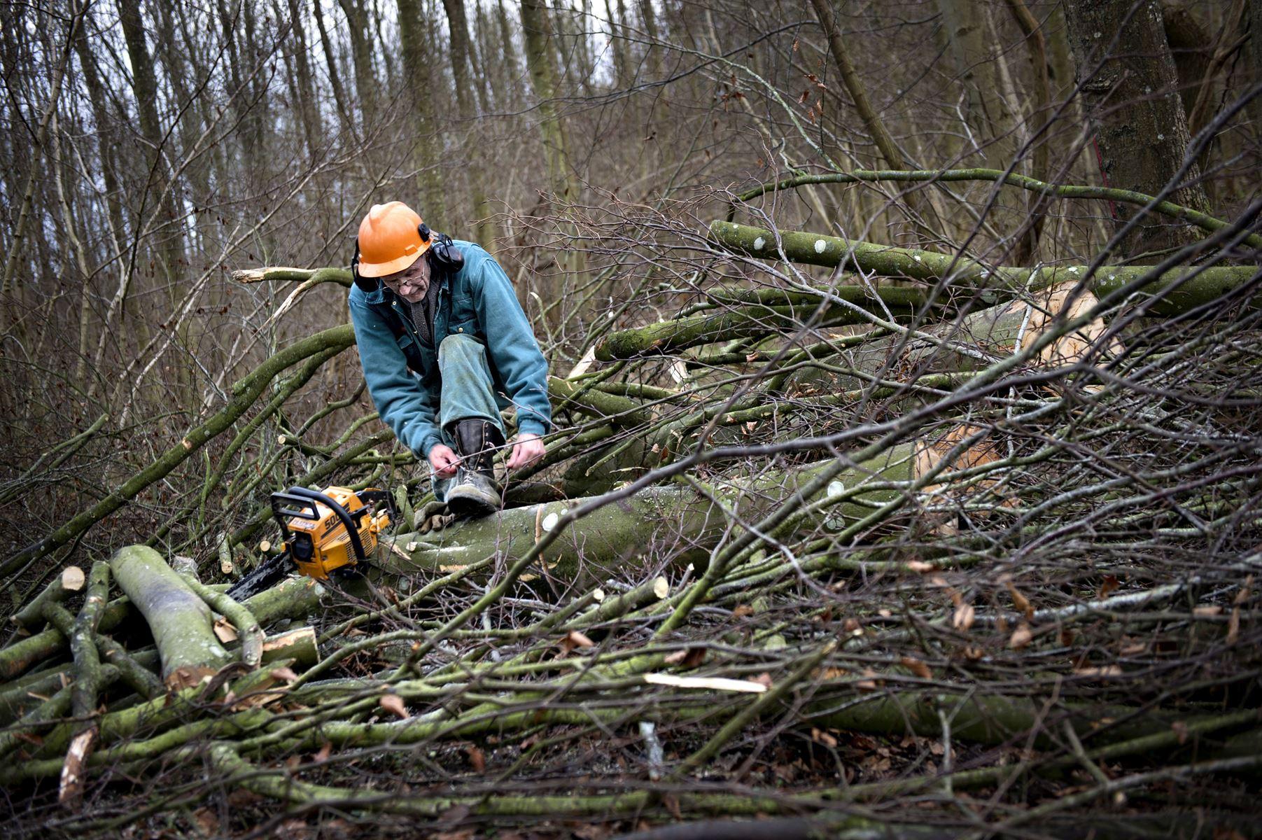 Gratis Østershatte, enebær, judasører, slåen og skovæbler er blandt de råvarer, som du kan plukke ganske gratis i naturen i vintersæsonen