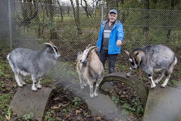 Der er en del dyr i Grønærteby, bl.a. geder, som formand Ole Mouritzen her besøger.