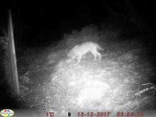 Ulven i Vendsyssel vil vandre videre