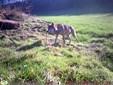 Ulven krydsede Limfjorden i november