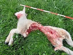 Frustrerede fåreavlere kræver ulven død
