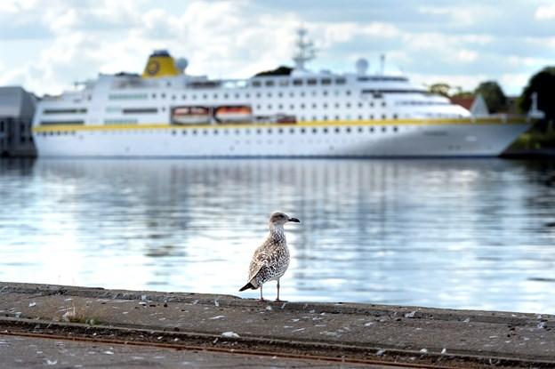 Selv mågerne på Aalborg Havn tager sig en puster på kajkanten for at nyde synet af de mega store krydstogtskibe. Arkivfoto: Torben Hansen
