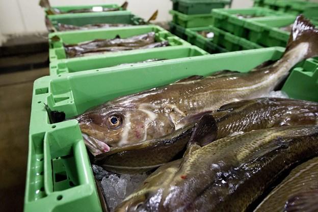 Forskere: Fiskere smider ulovligt tonsvis af torsk ud i havet