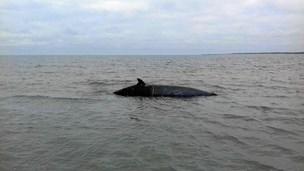 Strandet hval blev reddet på Læsø