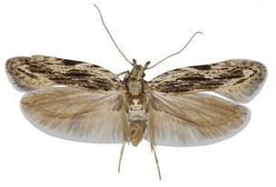 Danskere finder ukendt sommerfugl: Find et navn til den lille flyver