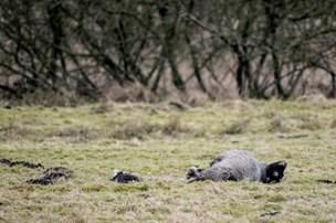 DNA-prøve slår fast: Ulv dræbte 21 får i Holstebro