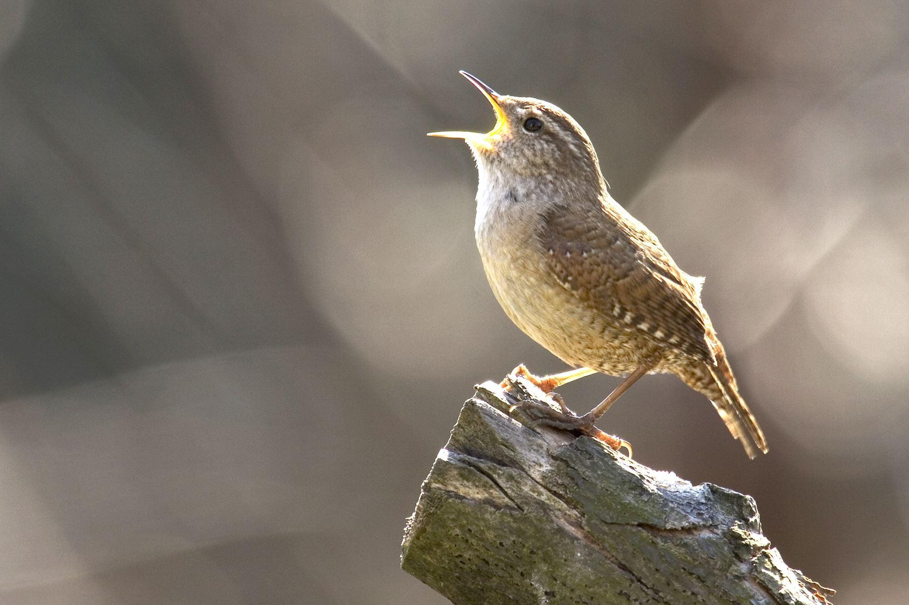 Forårets fuglekvidder bliver formentlig lidt fattigere, da kulden kan gøre det af med mange småfugle.