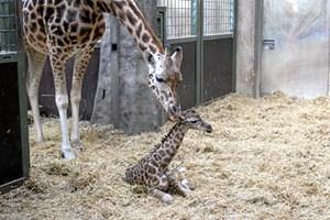 Giraffen Caroline har født for ottende gang