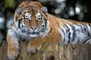 Huntiger dræbt af hantiger i Zoologisk Have