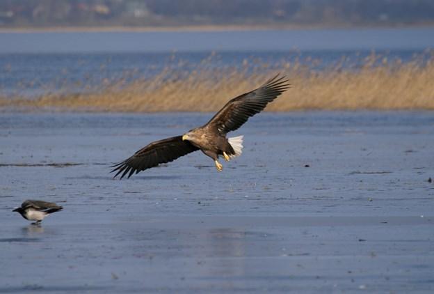 Nordjyske havørne døde af frygtet fugleinfluenza