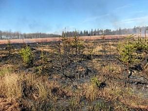 Invasive sitka-graner bekæmpes med ild i Vildmosen