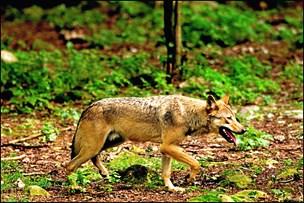 Forsker: Giftig ulvedebat kan have udløst ulvedrab