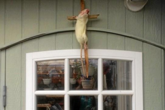 Makabert fund: Korsfæstet rotte på kolonihavehus