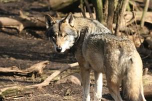 S og DF: Danske ulve skal indhegnes