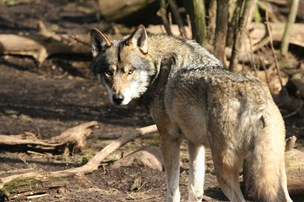 Minister vil hegne ulve ind