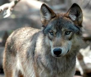 Zoo-direktør advarer mod ulvehetz: Reservater er panikløsning