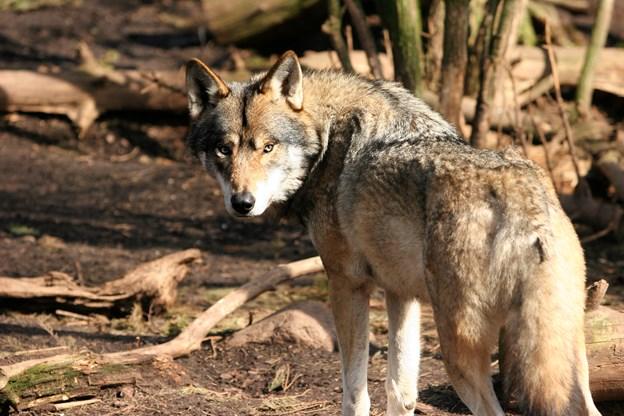 Kun hvert fjerde ulveoverfald bekræftet