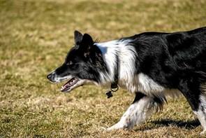 Hyrdehunde konkurrence er søndag