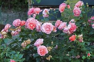 Lider du af pollenallergi, er det ikke ligegyldigt, hvad du planter i haven. En biolog giver her sine råd til allergivenlige planter og blomster.