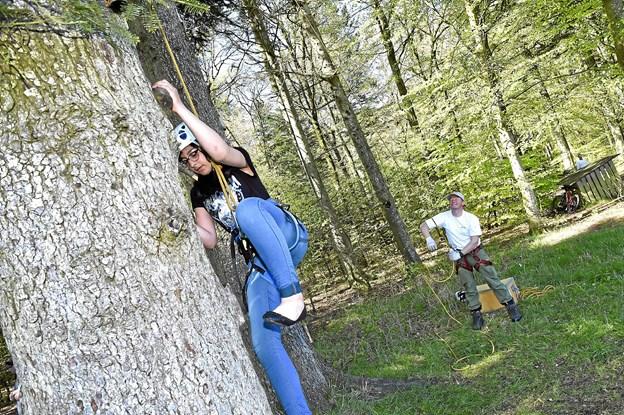 Maisam Alfaris fra THisted havde mod til at klatre fem meter op i den gamle gran ved bålpladsen. I baggrunden Tonny Toftdal fra Naturstyrelsen ved sikkerhedsrebet. Foto: Ole Iversen