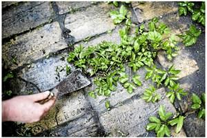 Begynd ukrudtsbekæmpelsen med at finde ud af, om det er frøukrudt eller flerårigt ukrudt, du har i haven.