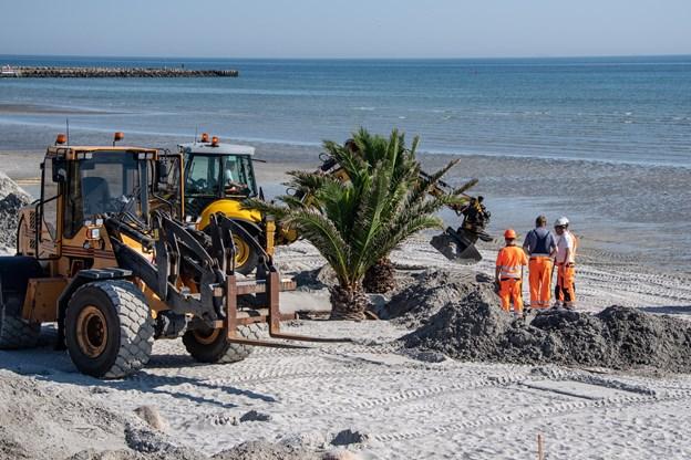 Der var tryk på med at forankre de mange palmer i sandet på Palmestranden. Foto: Kim Dahl Hansen