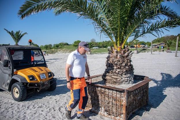 Så er palmerne tilbage på Palmestranden efter en skøn vinter inden dørs. Her sikrer palmemester Michael Nielsen at alt står som det skal. Foto: Kim Dahl Hansen